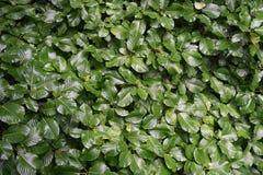 Текстура лист куста изгороди завода Стоковая Фотография