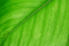 Текстура лист макроса зеленая Стоковые Изображения