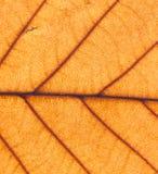 Текстура лист осени оранжевая - весьма крупный план Стоковые Изображения