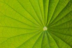 Текстура лист лотоса Стоковые Изображения RF