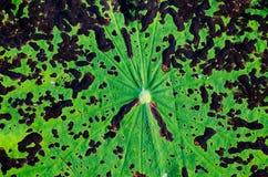 Текстура лист лотоса Стоковые Фото