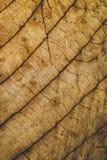 Текстура и предпосылка лист Брайна Взгляд макроса сухой текстуры лист Органическая и естественная картина абстрактные текстура и  Стоковая Фотография RF
