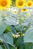 Текстура и предпосылка солнцецвета стоковая фотография rf