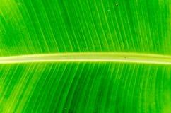 Текстура и предпосылка лист банана стоковые изображения