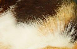 Текстура и предпосылка меха котенка Стоковые Изображения