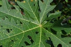 Текстура и форма листьев папапайи стоковая фотография
