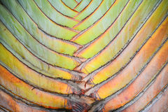 Текстура и striped картина дерева путешественника  Стоковые Фотографии RF