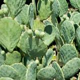 текстура кактуса предпосылки Стоковые Фотографии RF