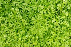 Текстура картины предпосылки зеленого папоротника Стоковая Фотография RF
