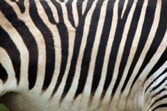 Текстура кожи зебры горы Hartmann (hartmannae зебры Equus) Стоковое фото RF