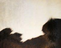 Текстура кожи коровы - мода меха крупного плана Стоковая Фотография RF