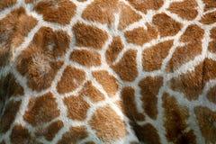 текстура кожи giraffe Стоковая Фотография RF