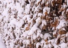 Текстура конспекта снега изгороди бука Стоковые Изображения