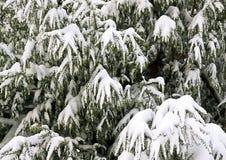 Текстура конспекта снега изгороди Leylandi Стоковое Изображение RF