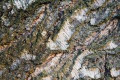 Текстура конца-вверх расшивы березы Текстура древесины дерева березы Стоковое Фото