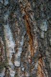 Текстура конца-вверх расшивы березы Текстура древесины дерева березы Стоковые Изображения