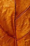 Текстура конца-вверх сухого кленового листа Стоковые Изображения