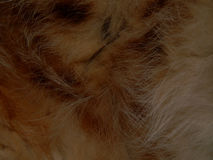 Текстура конца дикого животного меха вверх Стоковая Фотография RF