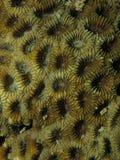 Текстура коралла поверхностная Стоковые Изображения RF
