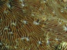Текстура коралла Стоковые Фотографии RF