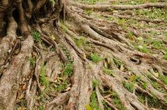Текстура корней дерева Стоковые Изображения