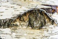 Текстура коры дерева березы Стоковое фото RF