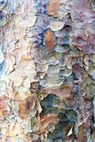 Текстура коры дерева самолета Лондона Стоковое фото RF