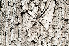 Текстура коры дуба Предпосылки текстуры для дизайна графиков обоев стоковая фотография rf