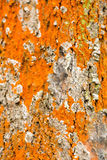 Текстура коры дерева в цветах Стоковые Изображения RF