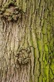 Текстура коры дерева с зеленым мхом Стоковая Фотография
