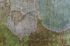 Текстура коры дерева с мхом и лишайником Стоковая Фотография RF