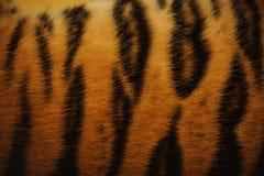 Текстура красивого меха тигра красочная с апельсином, бежом, желтым цветом и чернотой Стоковые Изображения RF