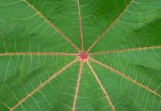 текстура красного цвета palmchrist листьев Стоковые Фото