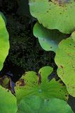 Текстура красоты leaf~Lotus лотоса стоковое фото