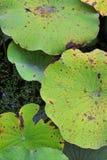 Текстура красоты leaf~Lotus лотоса стоковая фотография