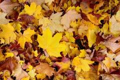Текстура красочных упаденных кленовых листов Стоковое фото RF