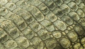 Текстура крокодиловой кожи Нила Стоковые Изображения