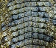 текстура крокодиловой кожи Стоковая Фотография RF