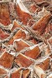 Текстура крупного плана пальмы Стоковая Фотография