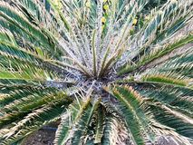 Текстура куста пушистого lapwing с красивым свежим естественным нежным живым зеленым цветом высекла различные уникально листья tr стоковое изображение