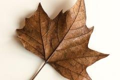 Текстура кленового листа Стоковые Фотографии RF