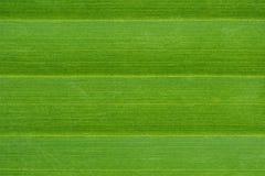 текстура ладони листьев Стоковые Изображения RF