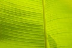 текстура листьев банана предпосылки Стоковая Фотография