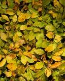 текстура листьев бука предпосылки Стоковые Изображения RF