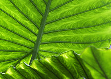 текстура листьев зеленого цвета детали предпосылки тропическая Стоковые Фотографии RF