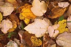 Текстура листьев осени Стоковое Фото