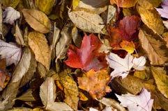 текстура листьев предпосылки осени Стоковая Фотография RF