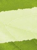 текстура листьев предпосылки Стоковая Фотография
