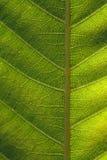 текстура листьев предпосылки Стоковые Фотографии RF
