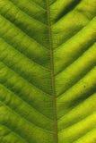 текстура листьев предпосылки Стоковое Фото